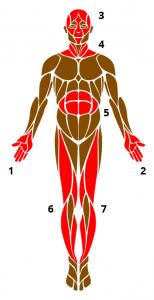 Abfolge der angespannten Muskelgruppen bei der PMR (c) istock - fout4587